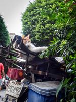 台北_雙城街の三毛猫